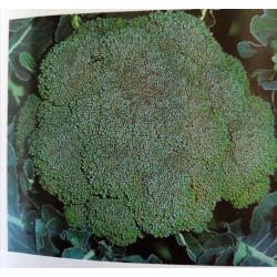 Choux brocoli godet de 8 par 6
