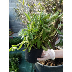 Sauge ananas pot de 14 cm...