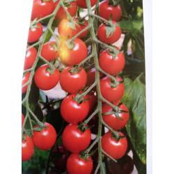 Grosse tomate cerise pot de...