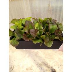 Salade batavia brune...