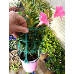 dipladenias pot de 14 cm