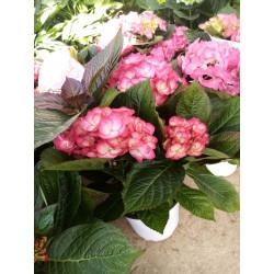 hortensia pot de 19 cm par 1