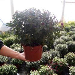 chrysanthème pot plastique 17