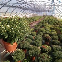 chrysanthème pot terre multi