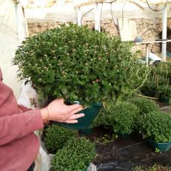 chrysanthème coupe de 36 cm...