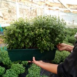 chrysanthème jardinière multi